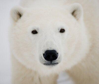Image Portrait d'un ours polaire. Fermer. Canada. Une excellente illustration.