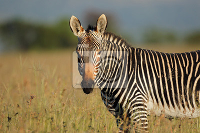 Portrait d'un zèbre de montagne du Cap (Equus zebra), Parc National de Mountain Zebra, Afrique du Sud.