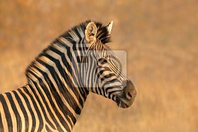 Portrait d'un zèbre des Plaines (Burchells) (Equus burchelli), Afrique du Sud.