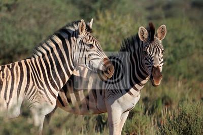 Portrait de deux plaines (Burchells) zèbres (Equus burchelli), Afrique du Sud.