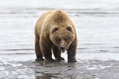 Image Portrait de l'ours brun sauvage en liberté