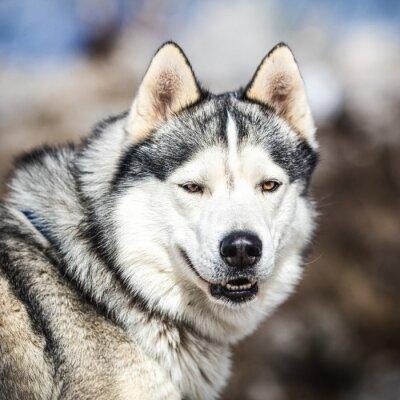 Image Portrait, traîneau, chien, husky, chien