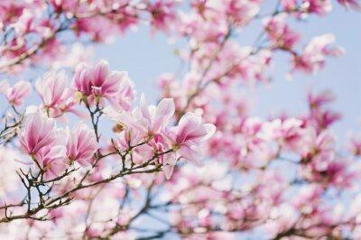 Image Printemps! Magnolia en fleurs