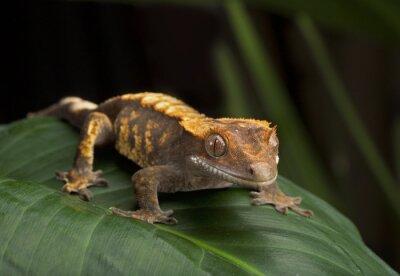 Image Profil du côté Gecko avec crête