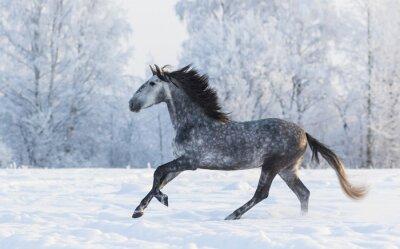 Image Pure race, cheval, galop, travers, hiver, neigeux, pré