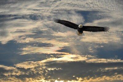 Image Pygargue à tête blanche volant au-dessus de l'Alaska