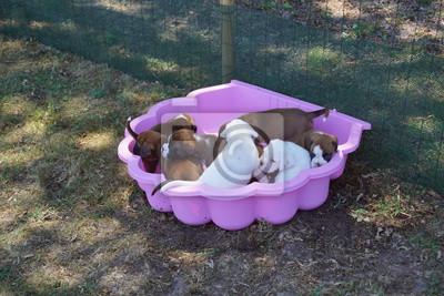 Image Rafraîchissement de petits chiots Boxer à la canicule de l'été.