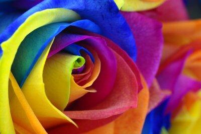Image Rainbow Rose ou fleur heureuse