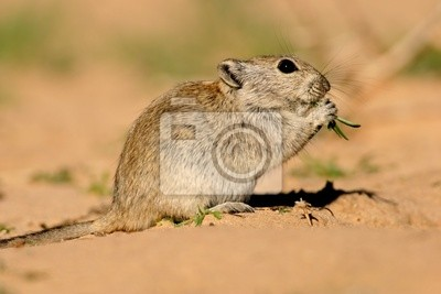 Rat sifflement (Parotomys brantsii), Kalahari, en Afrique du Sud