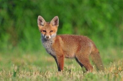 Image Red fox cub