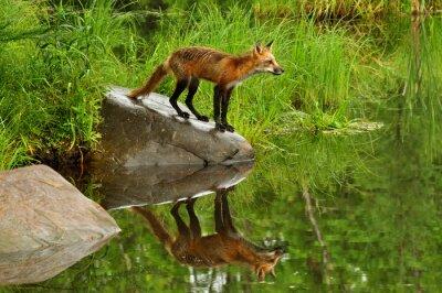 Image Red Fox et de réflexion de l'eau entouré de verdure.