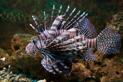 Red lionfish (pterois volitans) de poissons daquarium, un poisson ...