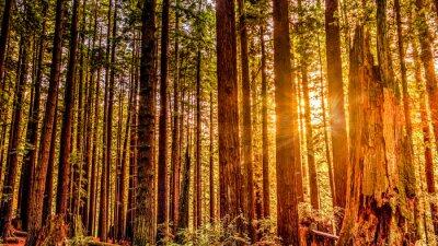 Image Redwood Sun