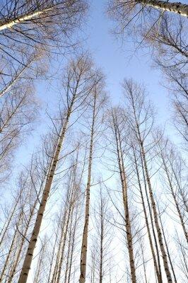 Image Regarder, haut, blanc, troncs, groupe, nu, bouleau, Arbres