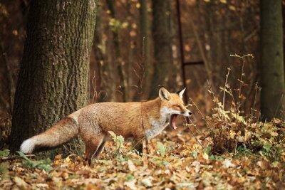Image Renard, automne, forêt