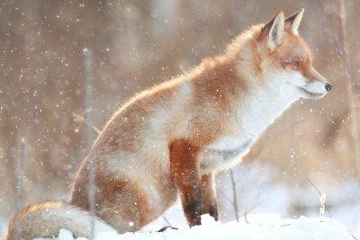 Image Renard roux dans la forêt d'hiver Pretty