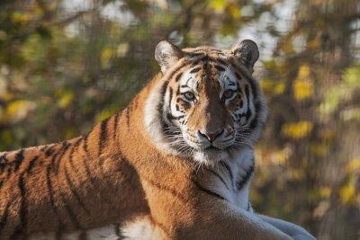 Image Repos Indian Tiger