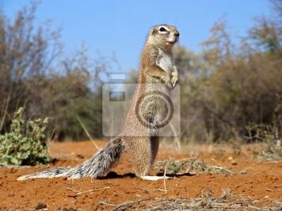 Rez-de-écureuil (Xerus inaurus)