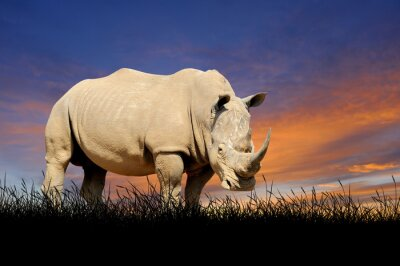 Image Rhinocéros, fond, Coucher soleil, ciel