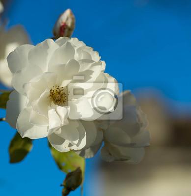 Rose Blanche Coeur Jaune Peintures Murales Tableaux Petales De