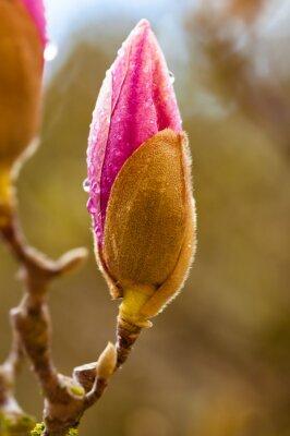 Image Rose, magnolia, fleur, bourgeon, pluie, gouttes Fin, haut, vue, fond, barbouillage