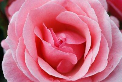 Image Rose rose