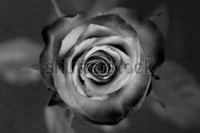 Image Rose. Rose décorative noire et blanche. Élégante fleur romantique.