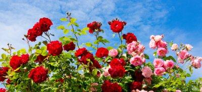 Image Roses roses roses et rouges.