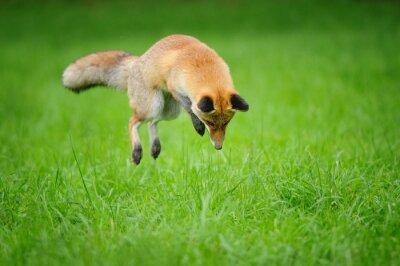 Image Rouges, renard, chasse, mousing, herbe, devant, côté, vue