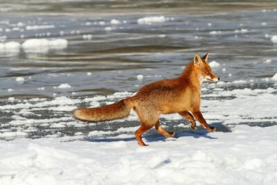 Image Rouges, renard, courant, glace