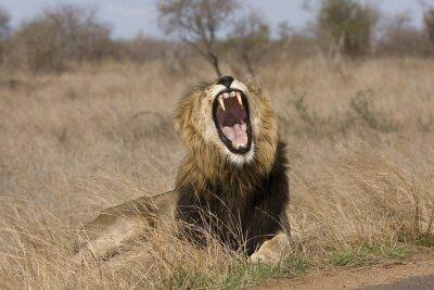 Image sauvage lion mâle béant dans la brousse