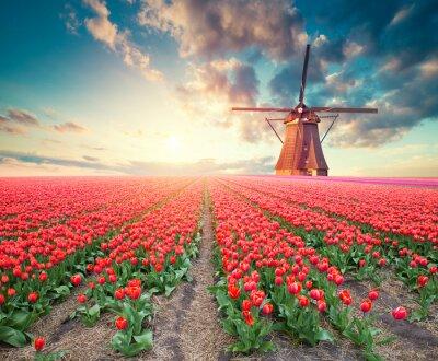 Image Scène printanière dramatique à la ferme de tulipes. Coucher de soleil coloré aux pays-bas, l'europe.