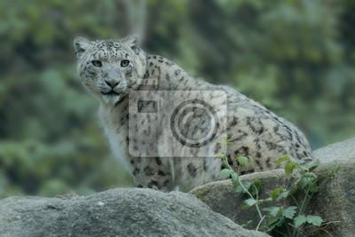 Schneeleopard Ou Irbis Panthera Ucia Peintures Murales Tableaux