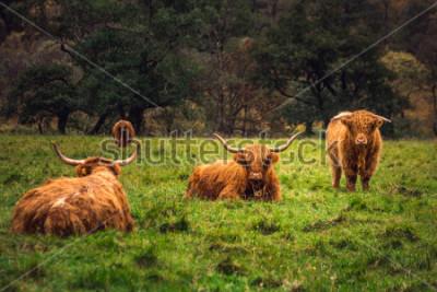 Image Scottish Highland Cow dans un champion avec de grandes cornes et de longs cheveux, Écosse.