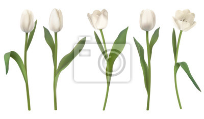Image Set of red realistic vector tulip flowers. Elements floral decor for a greeting card women day or mother day. Buds and leaves of different shapes. Isolated on white background.