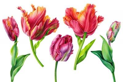 Image Set tulips on isolated white background, watercolor painting, hand drawing, botanical art.