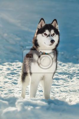 Image Siberian, husky, brun, yeux, neige