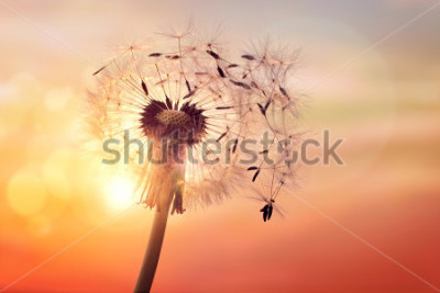 Image Silhouette de pissenlit contre le coucher du soleil avec des graines dans le vent