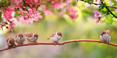 Image small funny Sparrow Chicks sit in the garden surrounded by pink Apple blossoms on a Sunny may day