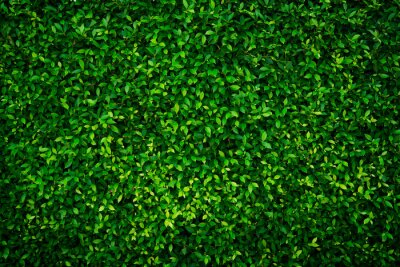 Image Small green leaves texture background with beautiful pattern. Clean environment. Ornamental plant in the garden. Eco wall. Organic natural background. Many leaves reduce dust in air. Tropical forest.