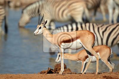 Springbok (Antidorcas marsupialis) et zèbres à un trou d'eau, Parc national d'Etosha, Namibie.