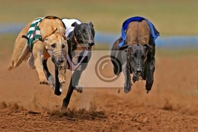 sprint lévriers