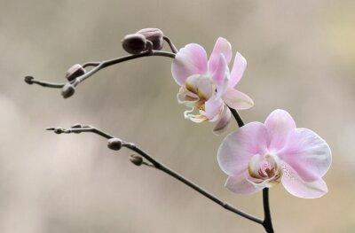 Image Storczyk - Orchidea