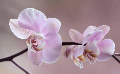 Image Storczyki - Orchidea