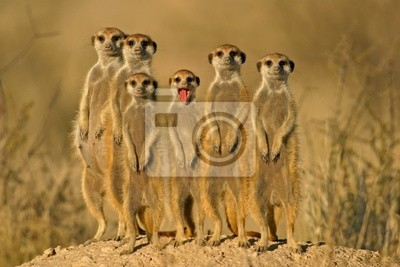 suricate famille