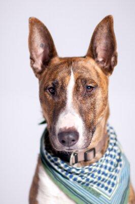 Image süßer Hund mit Halstuch schaut h Betrachter vorbei