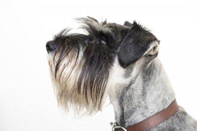 Image The wise Schnauzer dog