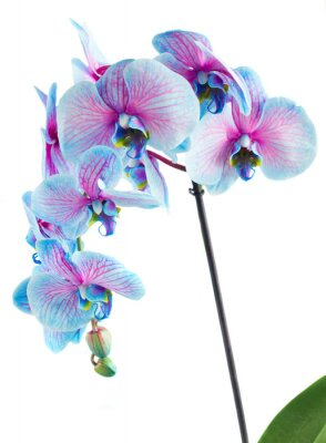Image Tige, bleu, orchidées