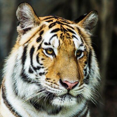 Image tigre