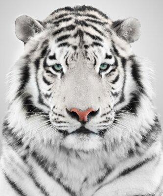Image Tigre blanc